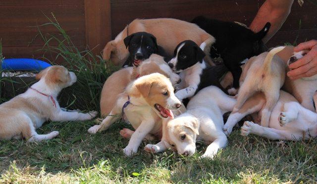 Chiots de chiens de tête à réserver