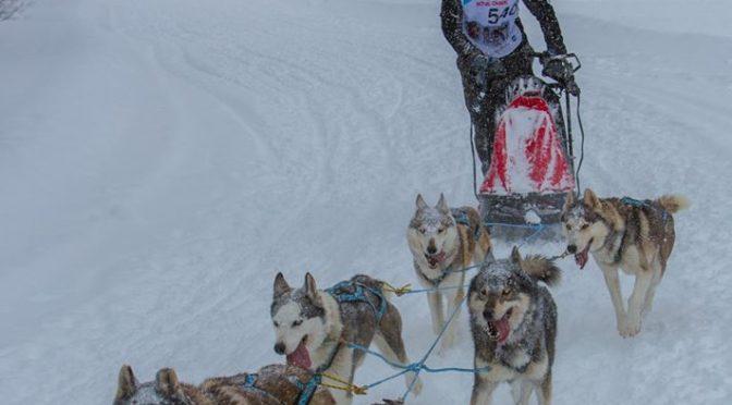 Vente de 5 huskies lof lignée course