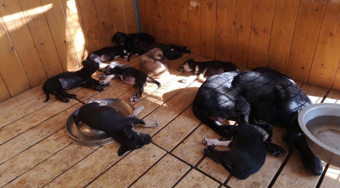Chiots femelles eurohound à vendre