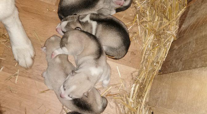 Bébés huskies à réserver pour la vente